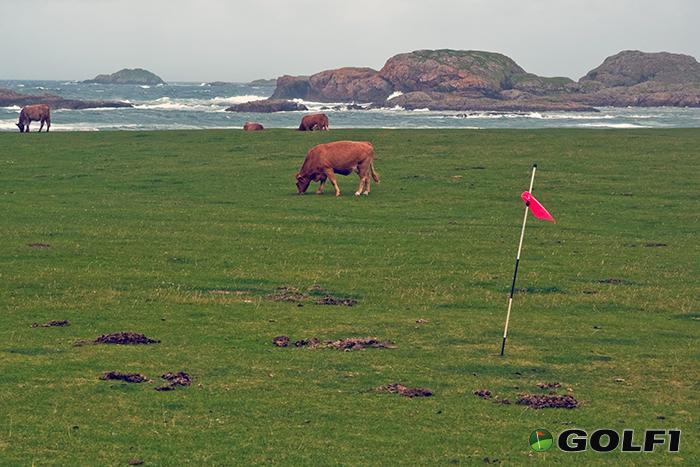 Kühe auf dem Golfplatz